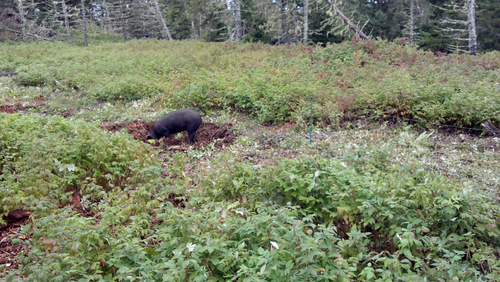 Pigs help to make pasture out of cleared forest land.